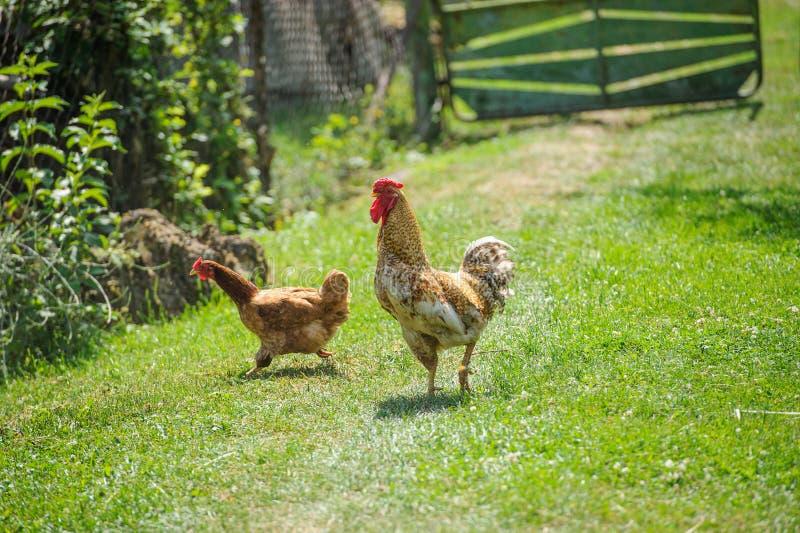 Hen on a green grass. Hen running on a green grass, agriculture, animal, avian, beak, bird, breed, brown, chicken, cockerel, comb, crowing, domestic, farm stock photos