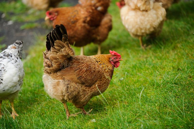Hen on a green grass. Hen running on a green grass, agriculture, animal, avian, beak, bird, breed, brown, chicken, cockerel, comb, crowing, domestic, farm royalty free stock images