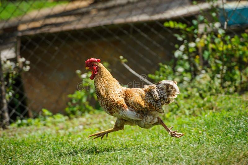 Hen on a green grass. Hen running on a green grass, agriculture, animal, avian, beak, bird, breed, brown, chicken, cockerel, comb, crowing, domestic, farm stock photo