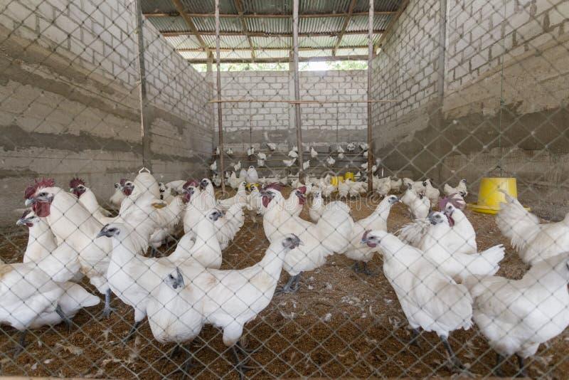 Hen happy in farm stock images