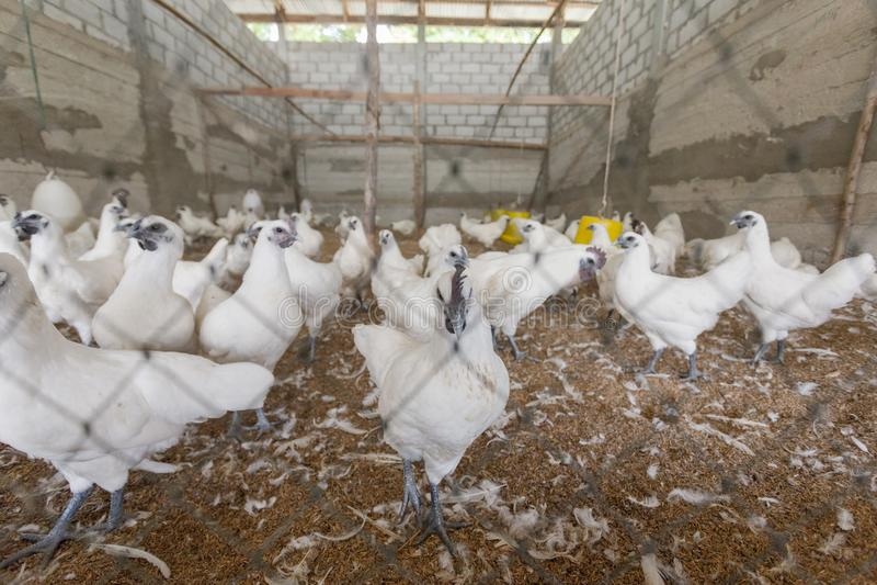 Hen happy in farm stock photography