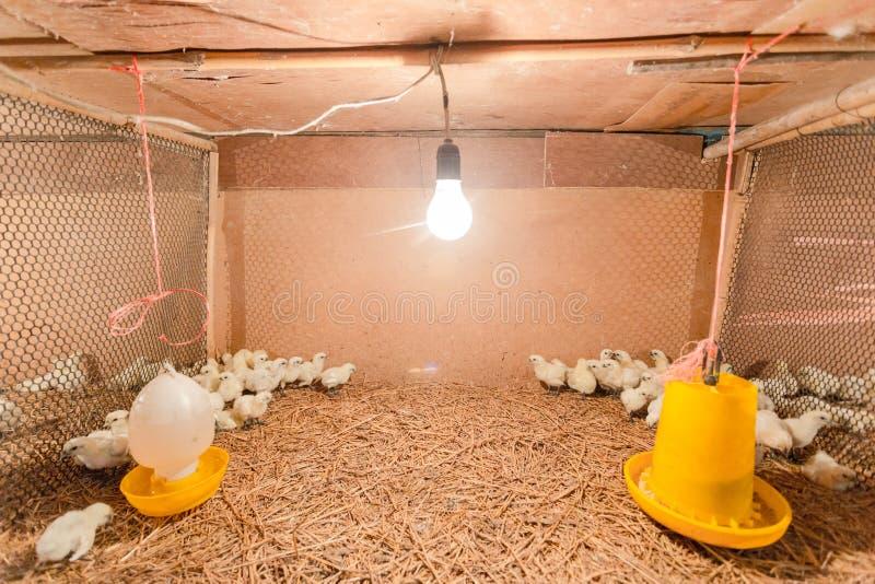 Hen happy in farm royalty free stock photos