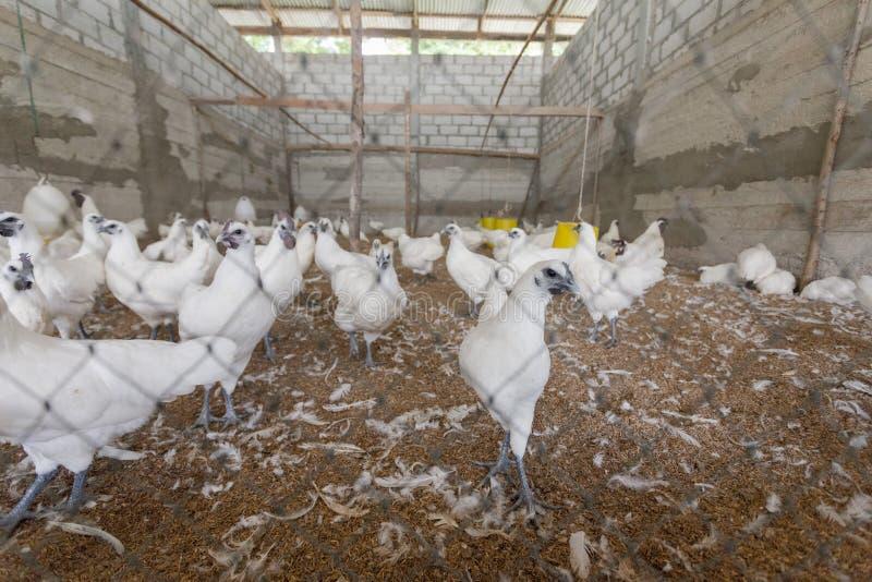 Hen happy in farm. Thailand royalty free stock image