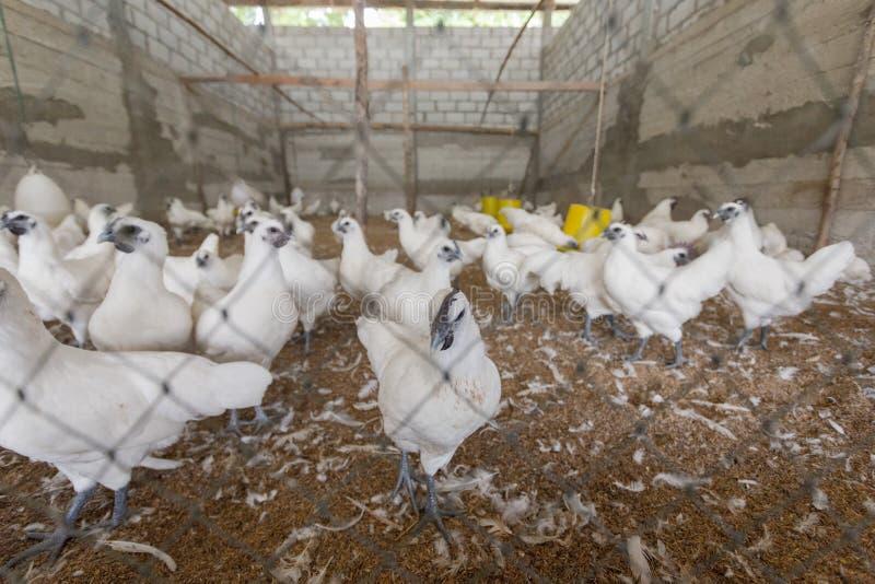 Hen happy in farm stock image