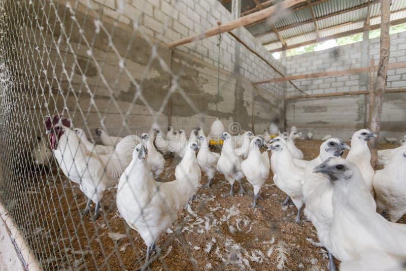 Hen happy in farm. Thailand stock photography