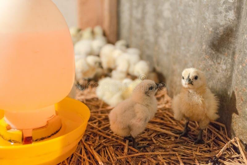 Hen happy in farm. Thailand stock image