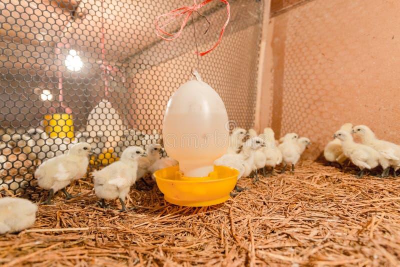 Hen happy in farm stock photo