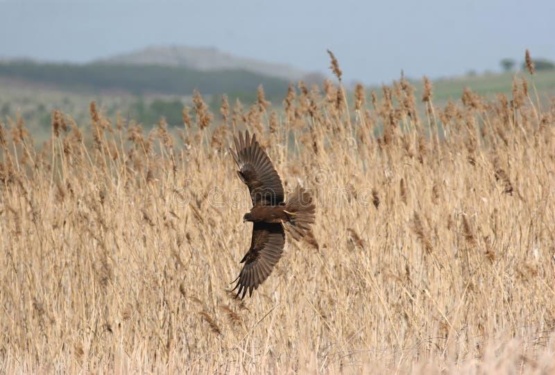 Hen Harrier fotografia stock