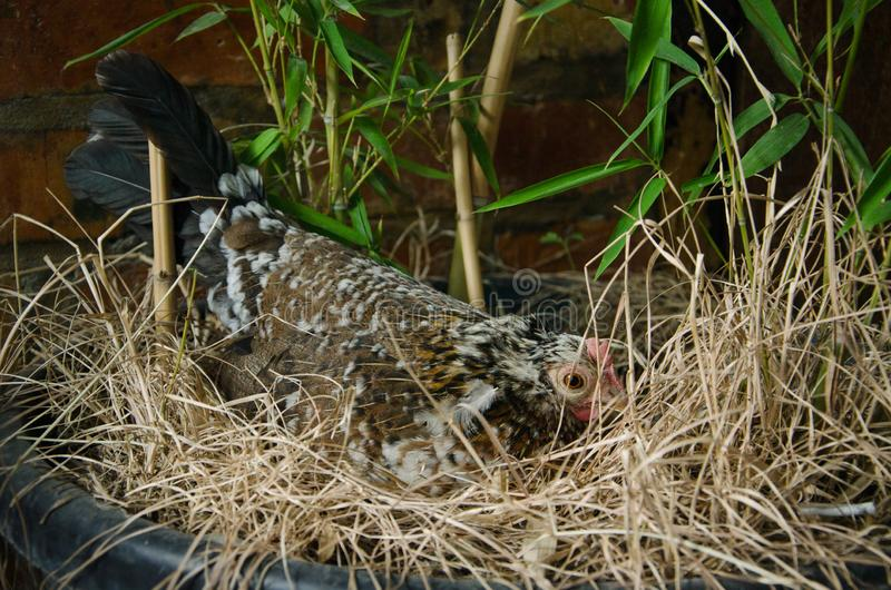 Hen hatching eggs in a nest royalty free stock photo
