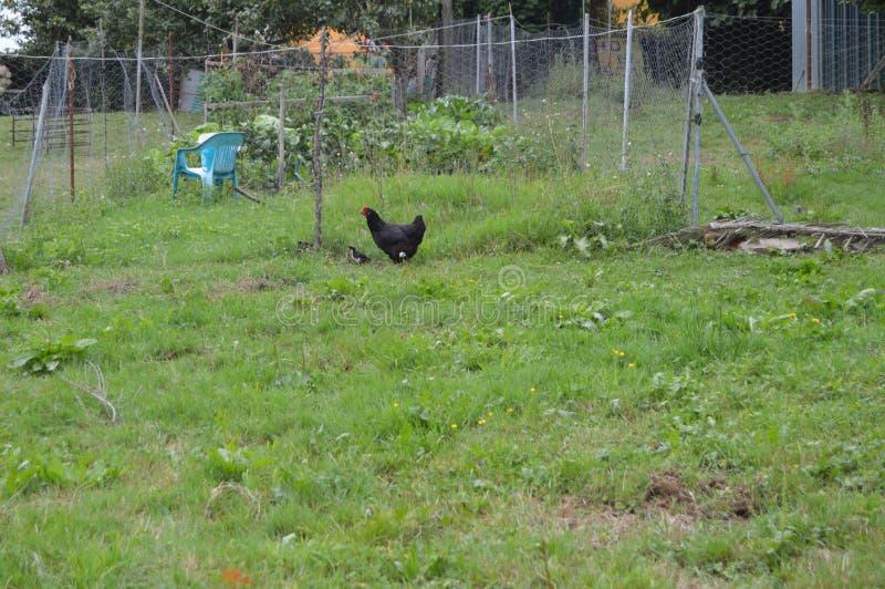 Hen With Her Black Chick in einem Bauernhof von Asturien lizenzfreies stockfoto