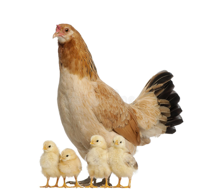 Hen with its chicks. Against white background