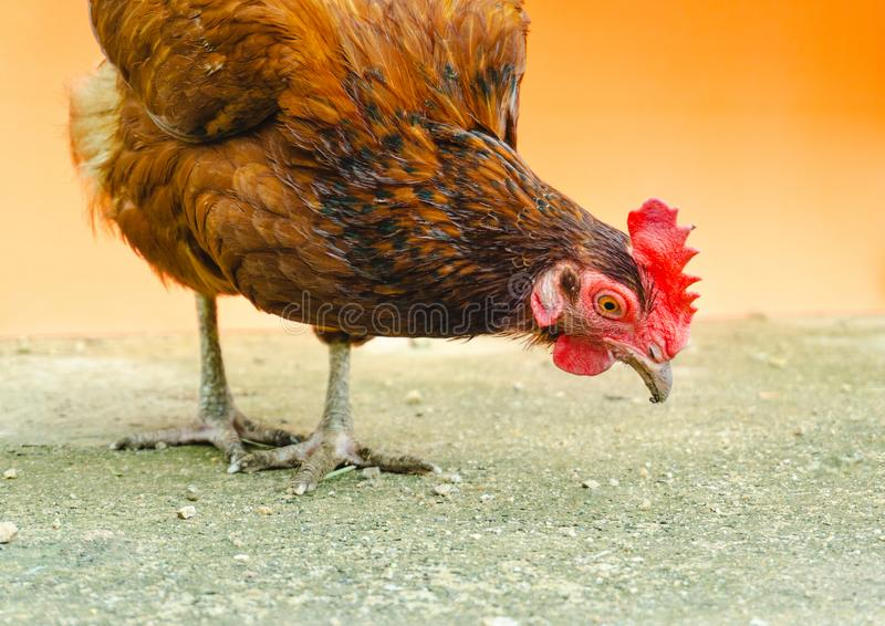 The hen is looking for food on the floor. Adult, agriculture, animal, beak, bird, brown, chick, chicken, close, close-up, country, crest, domestic, doubt, egg stock photo