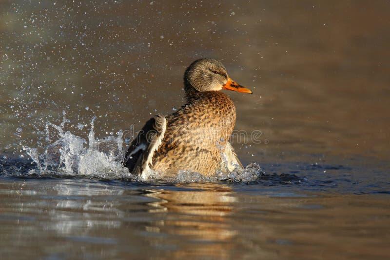 Hen Mallard Splashing in Gold Water in Winter zdjęcie stock