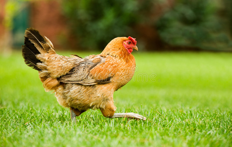 Hen on the move. Image of a hen walking on a green field