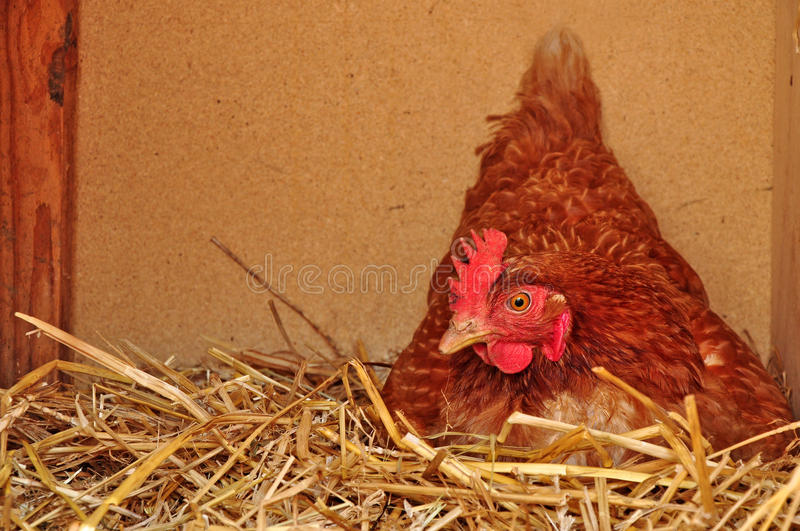Download Hen nest farming stock photo. Image of bird, life, straw - 20783936
