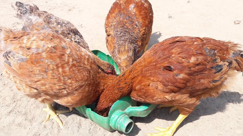 Hen paultry poltry pollo backyard bacalao imagen de archivo