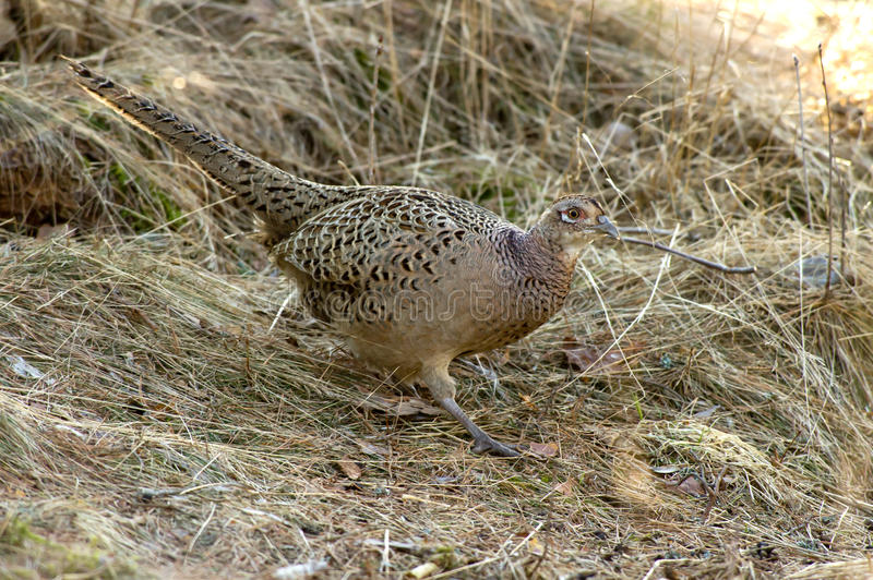The Hen Pheasant (Phasianus colchicus). The beautiful but discrete female pheasant (Phasianus colchicus) with her camouflage plumage, perfect when she is lying royalty free stock photography