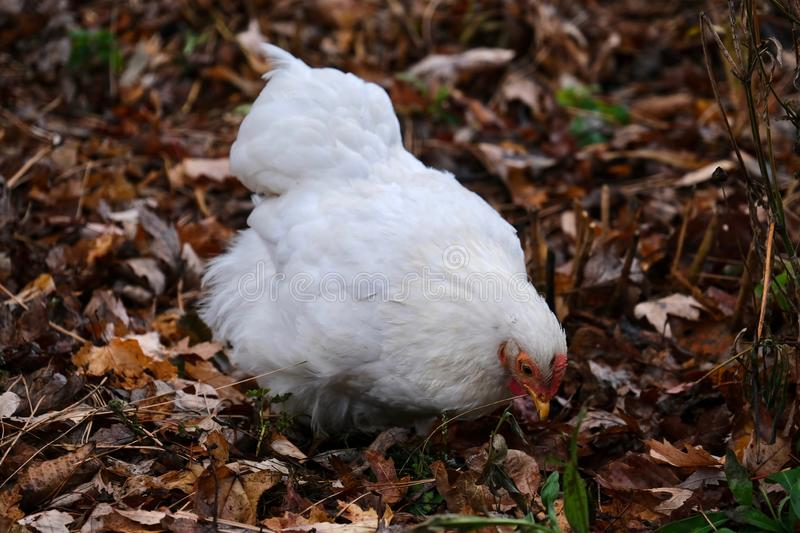 Hen picking up seeds in grass. White chicken female in farm. Salem. United States of America stock image