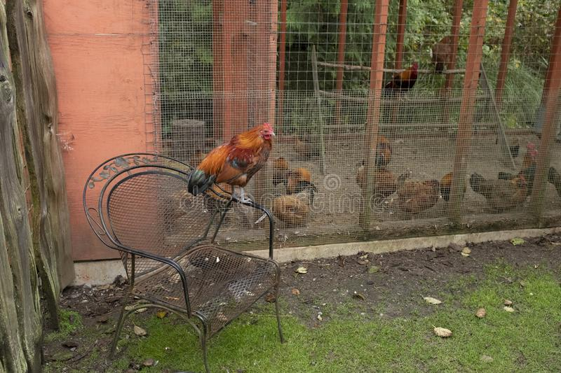 A hen / rooster supervises other caged hens / roosters in the Tofino Botanical Gardens. A hen / rooster with a nice chair supervises other penned up hens / stock photography