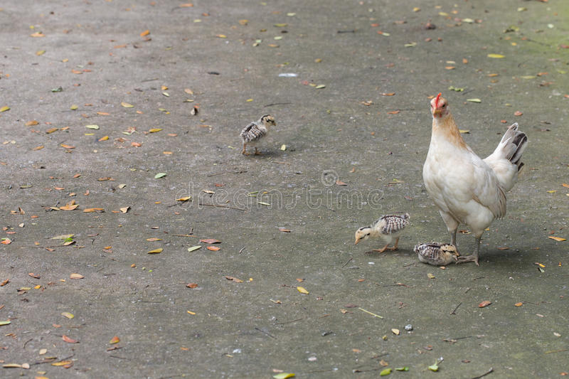 Hen and Three Chick royalty free stock photos