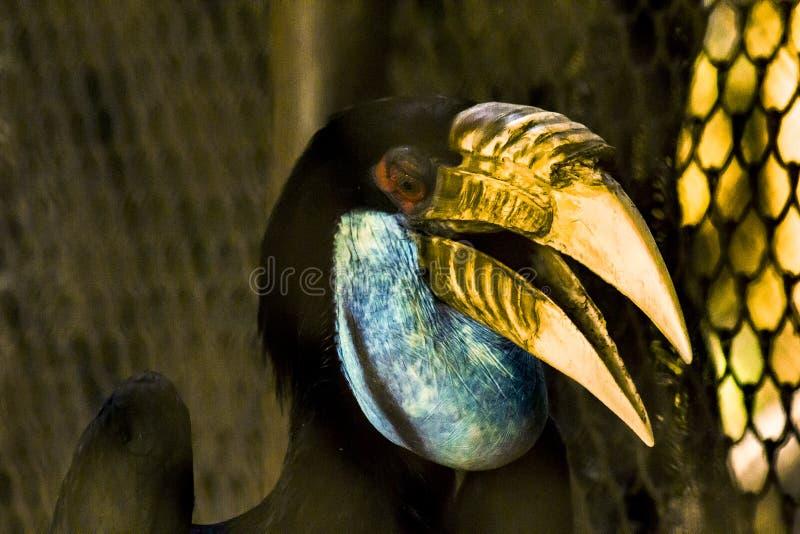 Hen Wreathed hornbillkvinnlig i zoo fotografering för bildbyråer