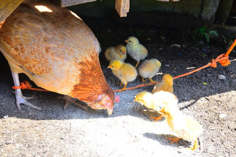 Hen y pollito de la familia foto de archivo