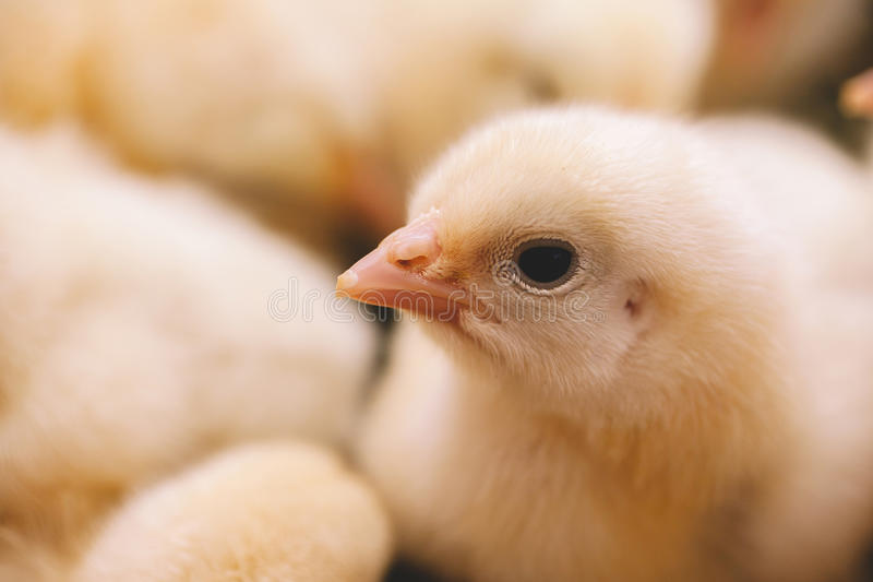 Baby chicken closeup stock images