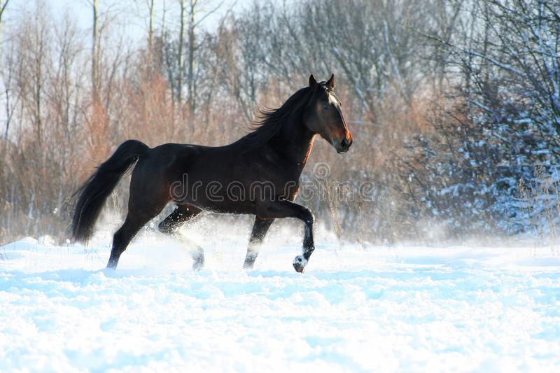 Hengst auf weißem Schnee lizenzfreies stockfoto