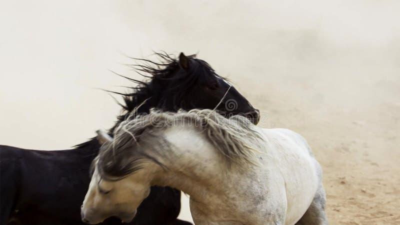 Hengste, wilde Mustangs versuchen, die Pools, das Kämpfen zu beherrschen von Rivalen, die zu nahes in der Wüste von Nevada riskie stockfotos