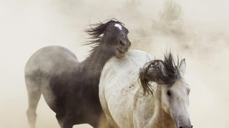 Hengste, wilde Mustangs versuchen, die Pools, das Kämpfen zu beherrschen von Rivalen, die zu nahes in der Wüste von Nevada riskie lizenzfreie stockfotos