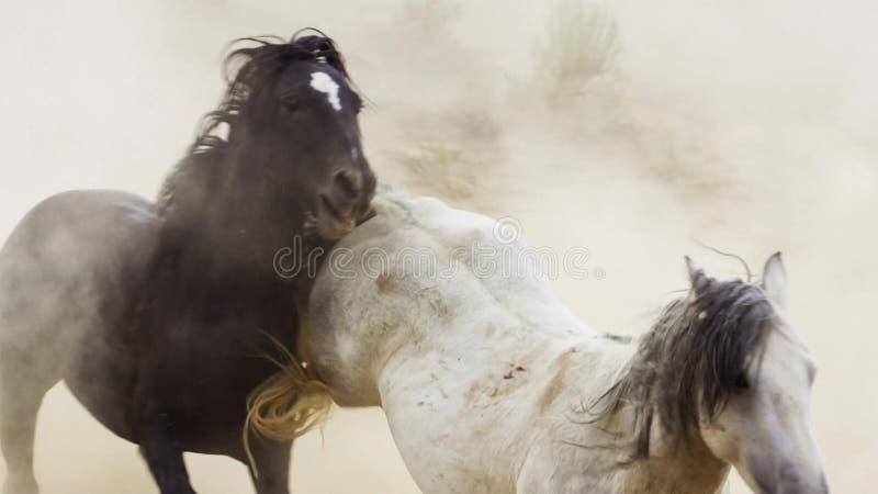 Hengste, wilde Mustangs versuchen, die Pools, das Kämpfen zu beherrschen von Rivalen, die zu nahes in der Wüste von Nevada riskie lizenzfreie stockbilder