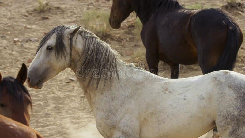 Hengste, wilde Mustangs versuchen, die Pools, das Kämpfen zu beherrschen von Rivalen, die zu nahes in der Wüste von Nevada riskie stockbilder