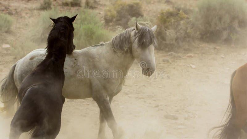 Hengste, wilde Mustangs versuchen, die Pools, das Kämpfen zu beherrschen von Rivalen, die zu nahes in der Wüste von Nevada riskie stockfoto