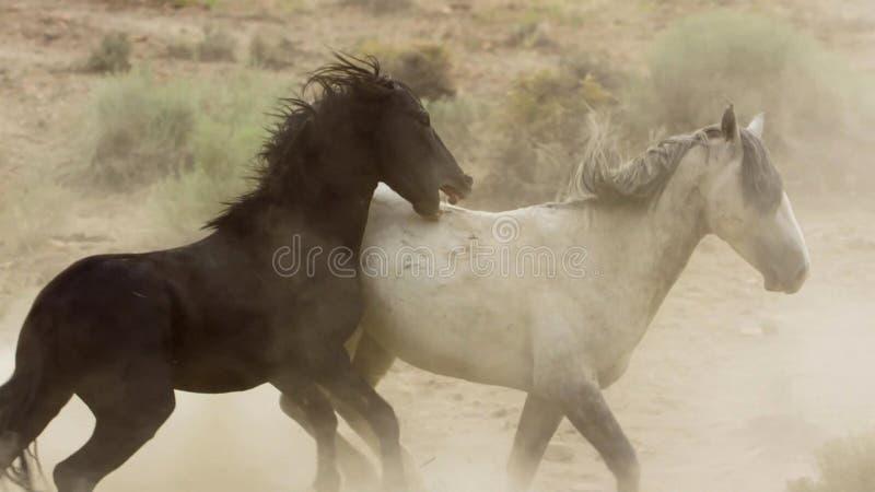 Hengste, wilde Mustangs versuchen, die Pools, das Kämpfen zu beherrschen von Rivalen, die zu nahes in der Wüste von Nevada riskie stockbild