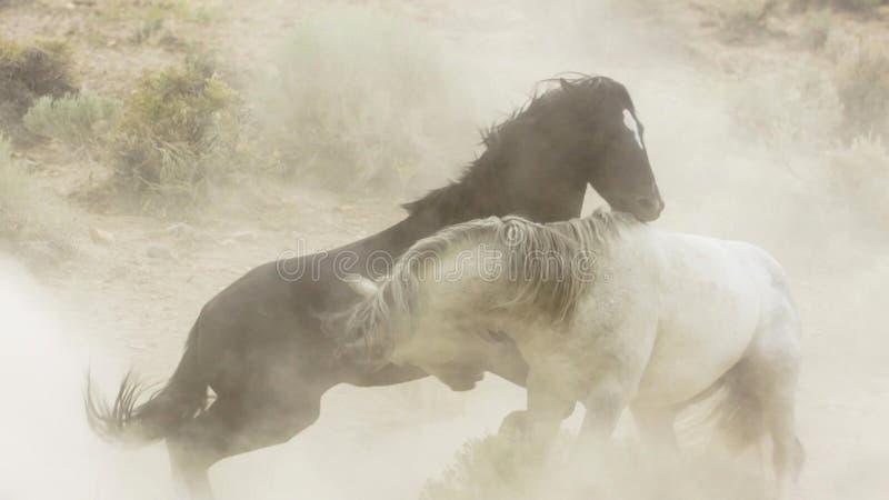 Hengste, wilde Mustangs versuchen, die Pools, das Kämpfen zu beherrschen von Rivalen, die zu nahes in der Wüste von Nevada riskie lizenzfreies stockfoto
