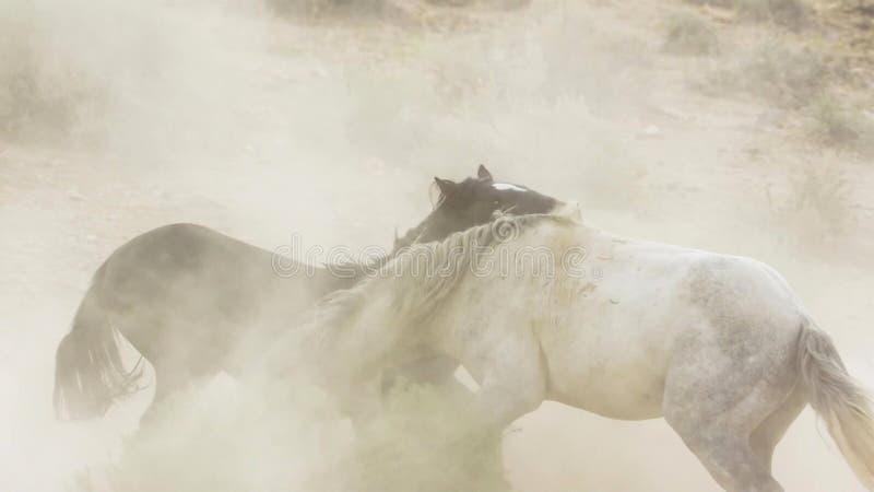 Hengste, wilde Mustangs versuchen, die Pools, das Kämpfen zu beherrschen von Rivalen, die zu nahes in der Wüste von Nevada riskie lizenzfreie stockfotografie