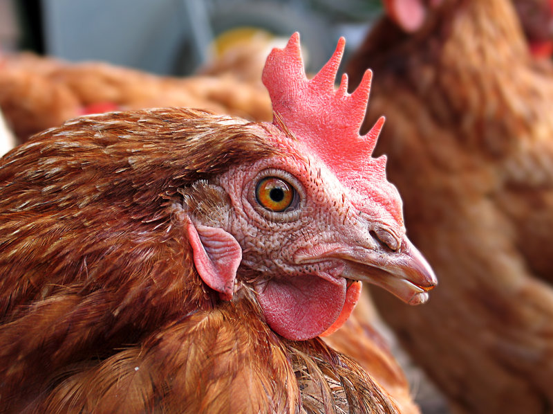 Download Henhouse stock image. Image of farm, animals, henroost - 3238845