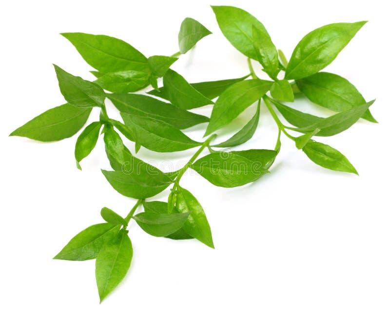 Henna φύλλα στοκ εικόνες με δικαίωμα ελεύθερης χρήσης