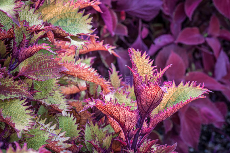 Henna coleus ornamental foliage. With redhead coleus plant in background royalty free stock photography