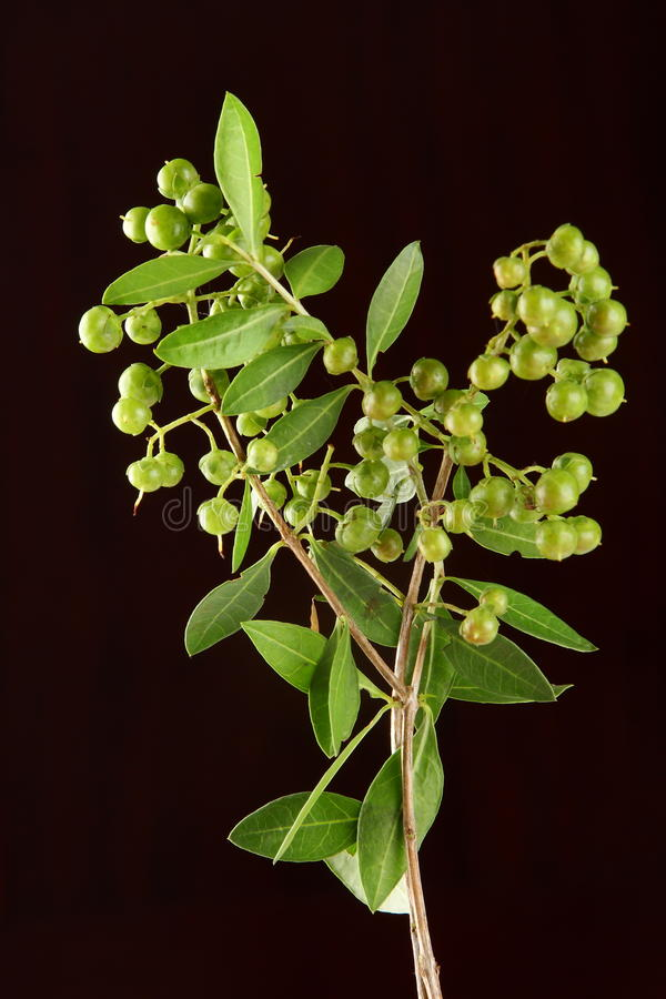 Henna plant in black background. Organic henna plant in black background, selective focus photograph royalty free stock photography