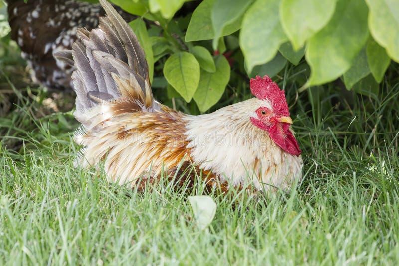 Henne im Gras stockbild