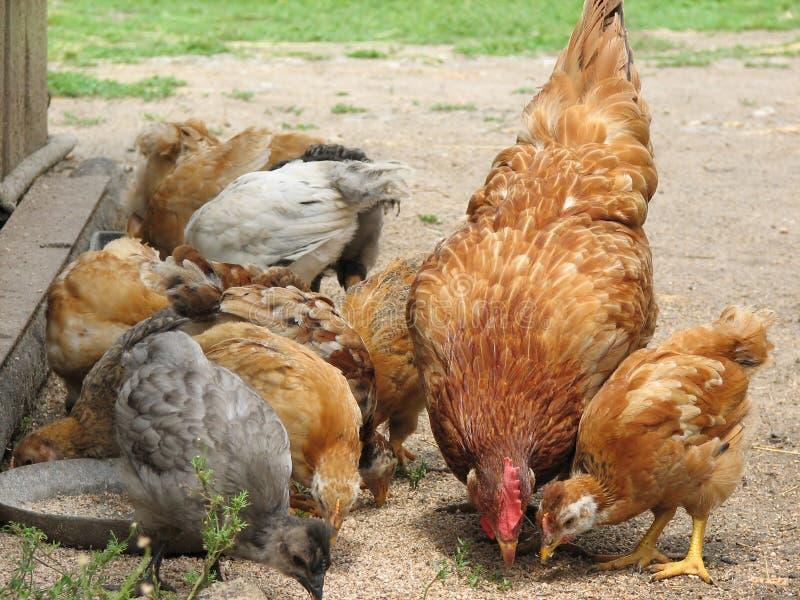 Henne mit den Hühnern, die das Korn essen stockfoto