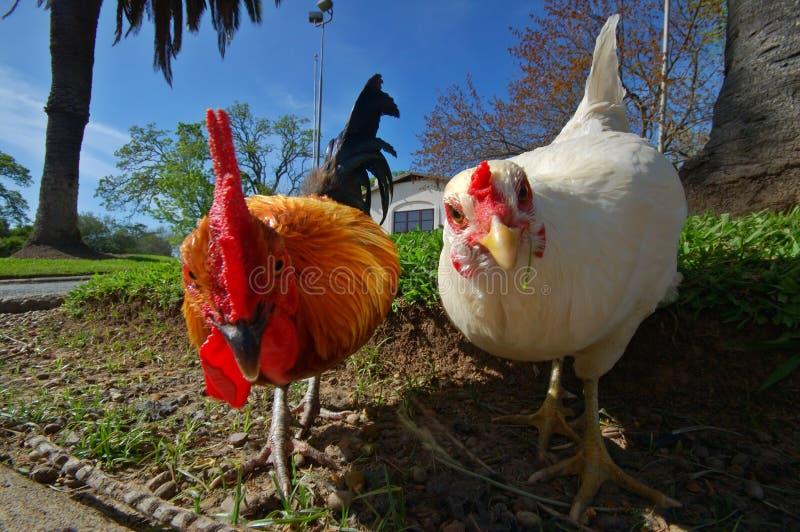 Henne und Hahn stockfotografie