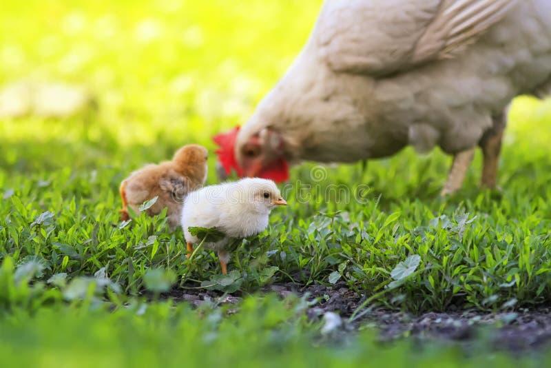 Henne und kleine flaumige Hühner gehen auf das üppige grüne Gras im Bauernhofyard an einem sonnigen Frühlingstag stockbilder