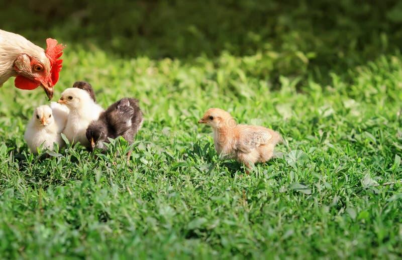 Henne und kleine flaumige Hühner gehen auf das üppige grüne Gras im Bauernhofyard an einem sonnigen Frühlingstag stockfotos
