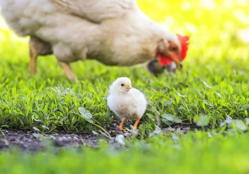 Henne und kleine flaumige Hühner gehen auf das üppige grüne Gras im Bauernhofyard an einem sonnigen Frühlingstag lizenzfreie stockfotos