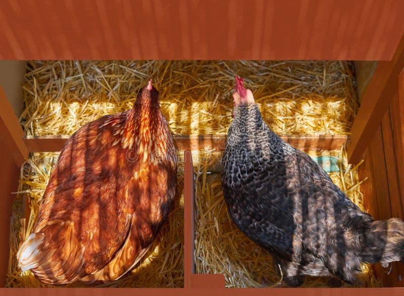 Hennengeflügel-Hausnest mit 2 Hennen brüten aus stockfoto