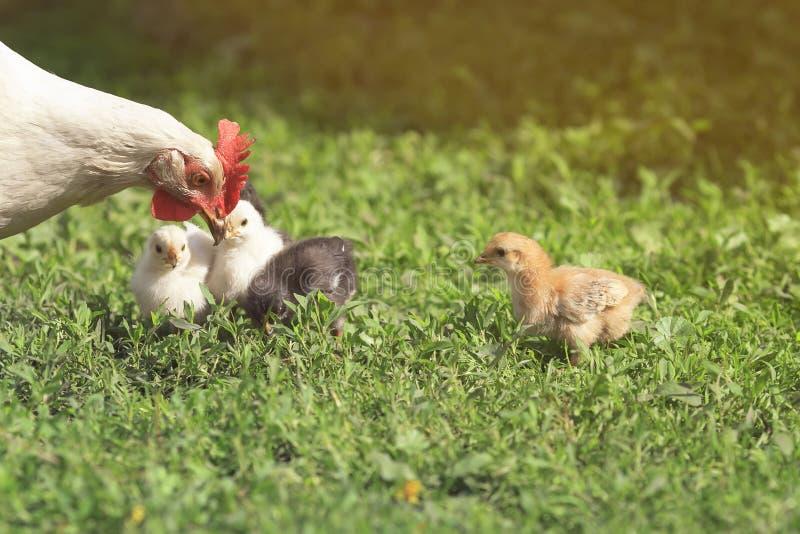 Hennenhenne geht mit ihren zwei kleinen Hühnern im Sommer lizenzfreie stockfotografie