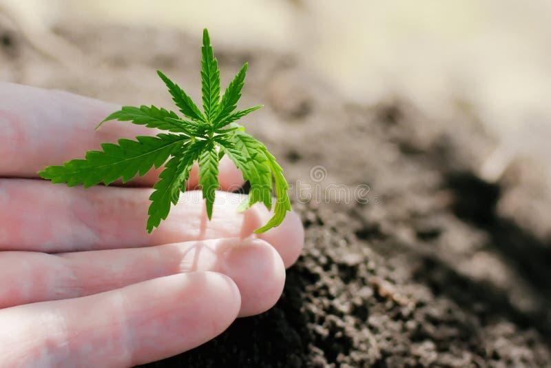 Hennepspruiten het groeien De landbouwers planten marihuanazaailing Handclose-up met cannabiszaailing in openlucht stock afbeelding