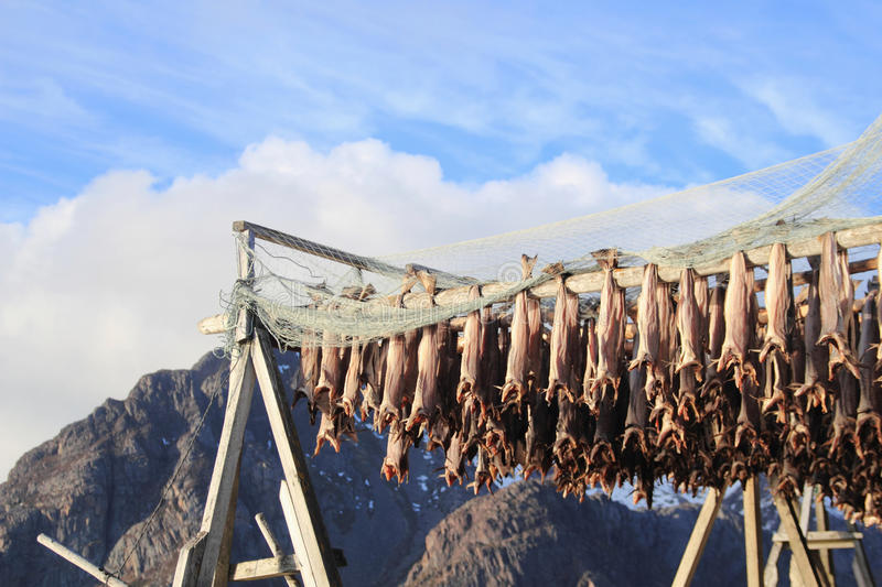 Henningsvaer i Lofoten stockfish. Traditional Lofoten racks to hang the fish to get dry stock photo